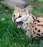 Serval Wild Cat Stock Photo