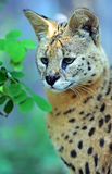 Serval Wild Cat. In the African savanna stock photos