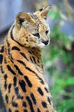 Serval Wild Cat. In the African savanna Stock Image