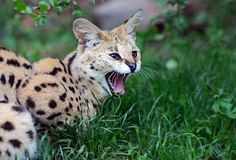 Serval Wild Cat Royalty Free Stock Image
