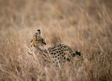 The Serval wild cat is also known as tierboskat. Serval Wild Cat during dusk, Masai Mara royalty free stock photography