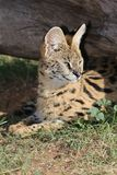 Serval Wild Cat Stock Photo