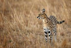 Serval Wild Cat during dusk Stock Images