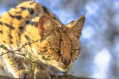 Serval wild cat. Front view of Serval, Leptailurus serval, on a tree in natural habitat with blurred background. The Serval is a spotted wild cat native to royalty free stock photography