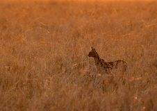The Serval wild cat is also known as tierboskat. Serval Wild Cat in the grasses during dusk, Masai Mara royalty free stock photos