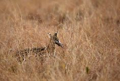 Serval Wild Cat with kill Royalty Free Stock Photos