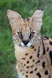 Serval Wild Cat Portrait Stock Photos