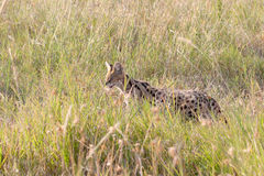Serval wildcat in savannah of Serengeti Tanzania Royalty Free Stock Image