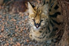 Serval in the zoo, sleepy wild cat. Sitting on the ground royalty free stock images