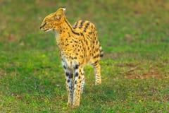 Serval Zuid-Afrika royalty-vrije stock foto