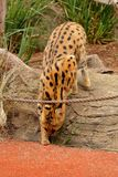 Servaljagd - Lepitailurus lizenzfreie stockfotografie
