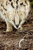 Servalkatt Sydafrika arkivbilder