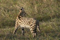 Servalkatze Stockbild
