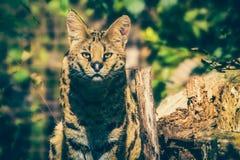 ServalLeptailurus serval royaltyfri bild