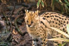 ServalLeptailurus serval Royaltyfri Foto