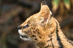 ServalLeptailurus serval Royaltyfria Bilder