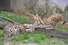 Servals Fotografie Stock Libere da Diritti