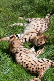 Servals Stock Images
