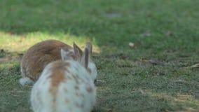 Serveral kaniner på en äng stock video