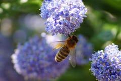 Serveur d'abeille un petit insecte Photographie stock libre de droits
