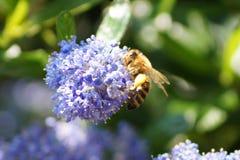 Serveur d'abeille un petit insecte Photographie stock