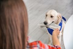Service dog giving newspaper to woman in wheelchair. Indoors royalty free stock photos