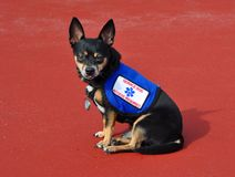 Service Dog, Red Background Royalty Free Stock Image