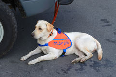 Service dog rescue. Royalty Free Stock Image