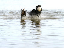 Service dogs relaxing and playing in water Royalty Free Stock Image