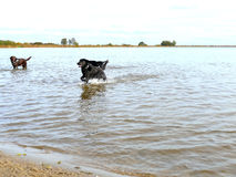 Service dogs relaxing and playing in water Royalty Free Stock Images