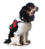 Service dogs. Two english cocker spaniels wearing vests on white background Stock Photos