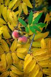 Service tree Sorbus domestica, mature fruits and leaves in aut. Um, sorb Royalty Free Stock Photos