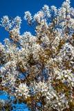 Servicebär som blommar fullständigt i vår arkivbilder