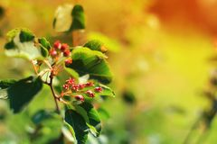 Serviceberry on branch background blue sky. Close Up Selective Focus. Amelanchier canadensis fruit on tree.  Shallow depth of. Serviceberry on branch background stock images