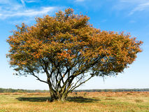 Serviceberry tree in autumn, Netherlands Royalty Free Stock Photography