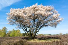 Serviceberry tree in bloom, heath, Netherlands Stock Image