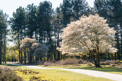 Serviceberry tree in bloom and path, heath, Netherlands Stock Photo