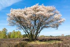 Serviceberryträd i blom, hed, Nederländerna Fotografering för Bildbyråer