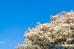 Serviceberryträd i blom, vita blommor och blå himmel, Netherla arkivfoto