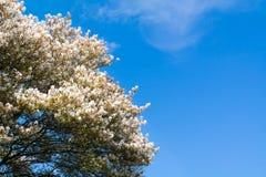 Serviceberryträd i blom, vita blommor och blå himmel, Netherla fotografering för bildbyråer