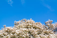 Serviceberryträd i blom, vita blommor och blå himmel, Netherla Arkivbild