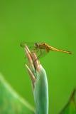 servilia dos crocothemis da libélula Foto de Stock Royalty Free