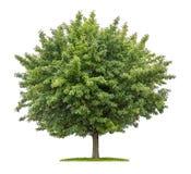 Servizio albero con i frutti su un fondo bianco Fotografie Stock