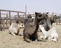 Servizio del cammello immagini stock libere da diritti