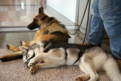 Servizio e rilassamento dei cani del compagno immagine stock