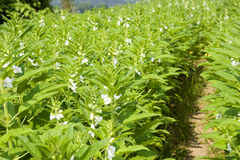 Sesame  field. White sesame flower and green leaves Stock Photography
