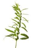Sesame flowering Stock Images