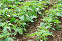 Sesame growth in the fields Stock Photo