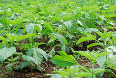 Sesame growth in the fields Stock Image