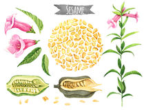 Sesame, hand-painted watercolor set. Clipping paths included Stock Images